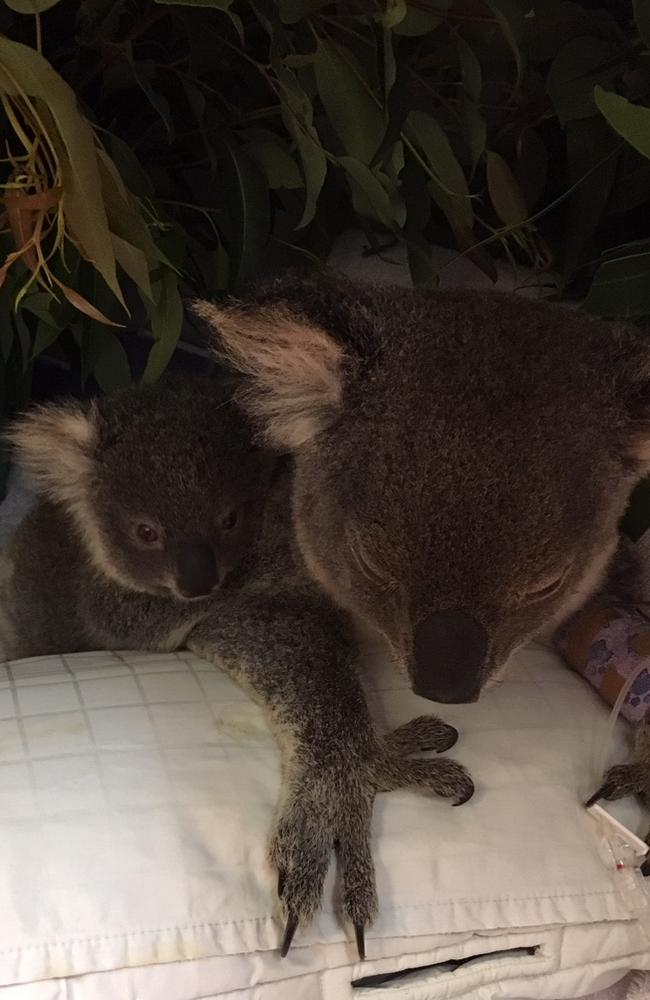The mother koala protected her baby well. Picture: RSPCA Qld