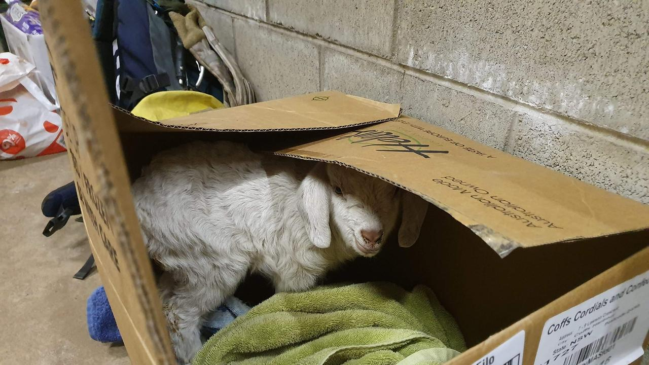 Baby goat saved from a remote property near Dorrigo.