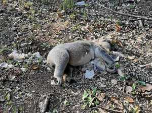 Koala carnage continues at notorious killing zone