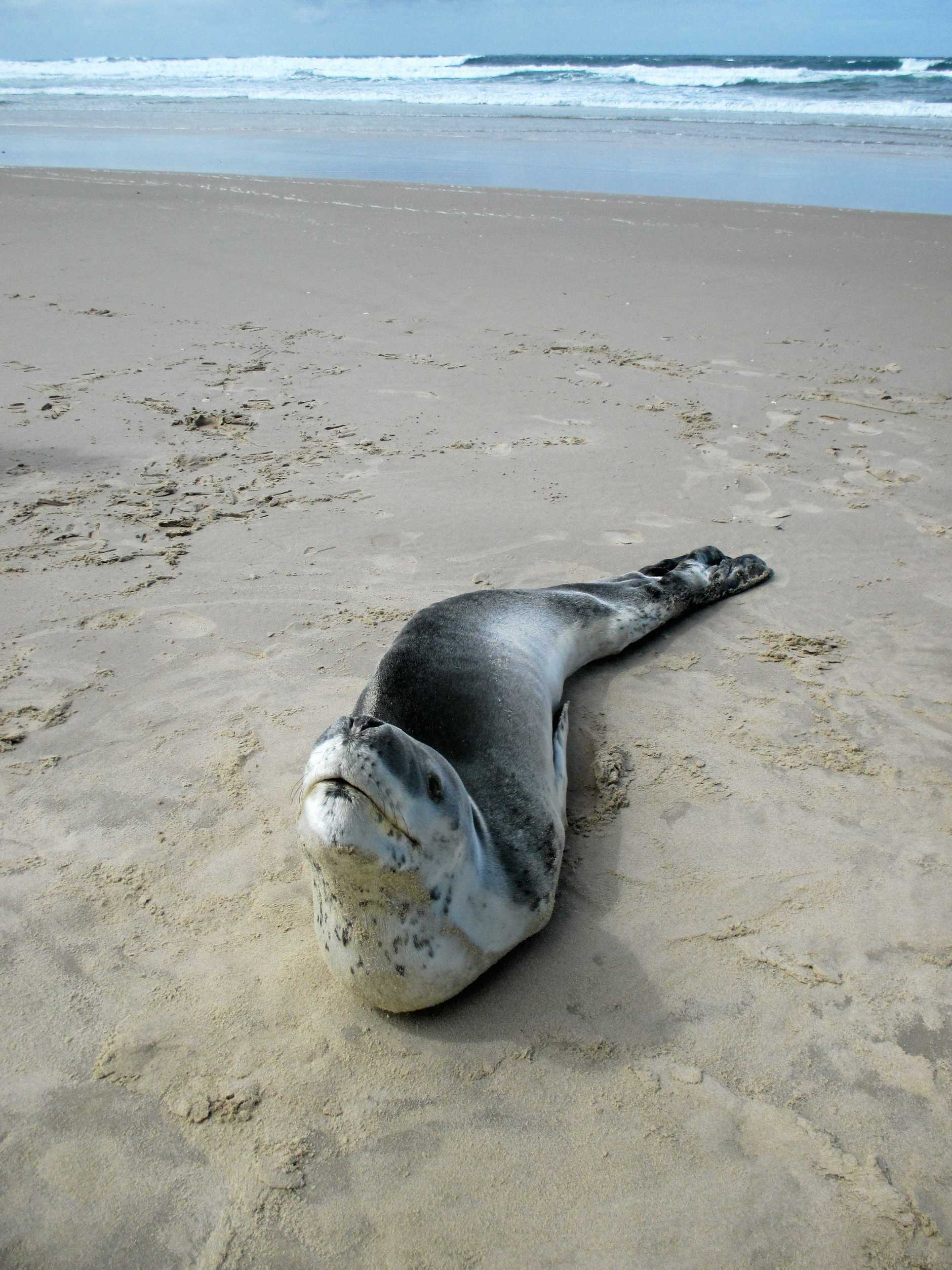 In a rare sight, a leopard seal was spotted sight on a Clarence Coast beach.