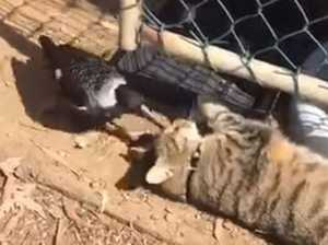 Magpie snuggles with kangaroo and cat
