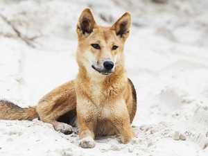 Woman injured after 'uncharacteristic' dingo attack