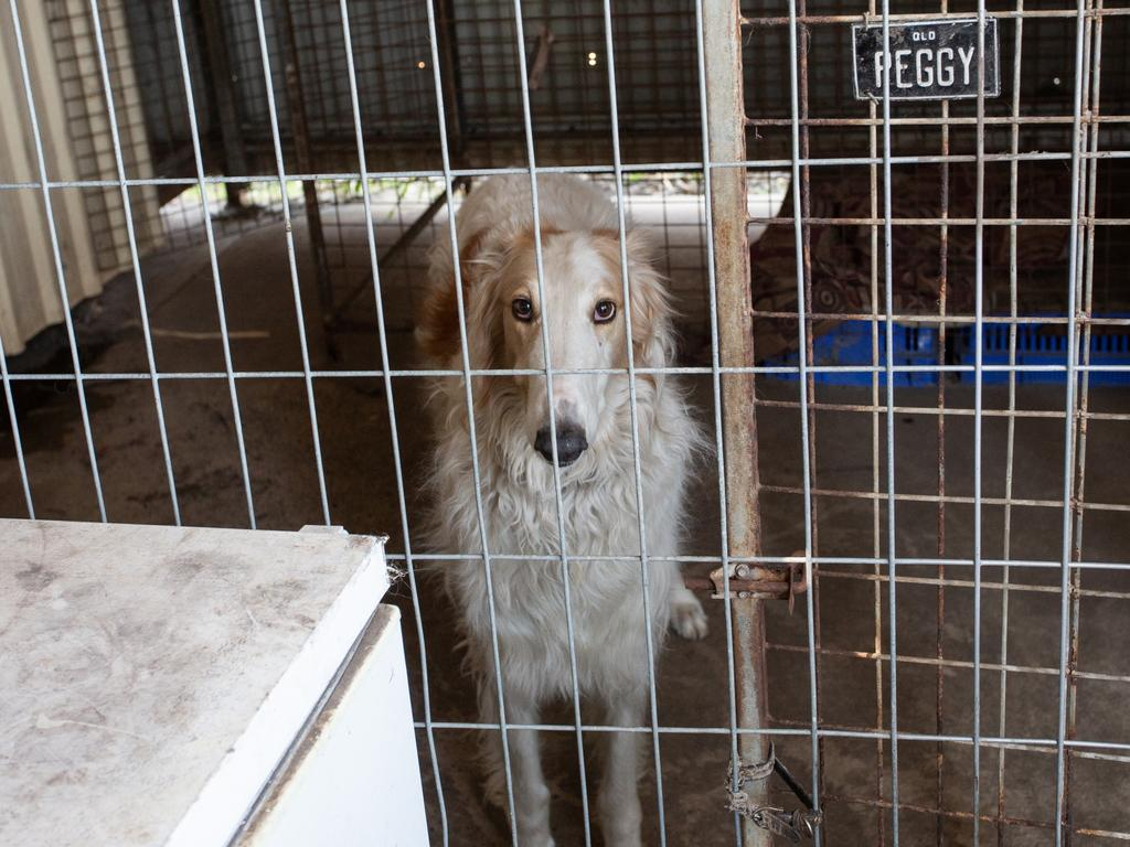 One of the dogs discovered during raids of four properties west of Brisbane in relation to a puppy farm operation. Picture: RSPCA