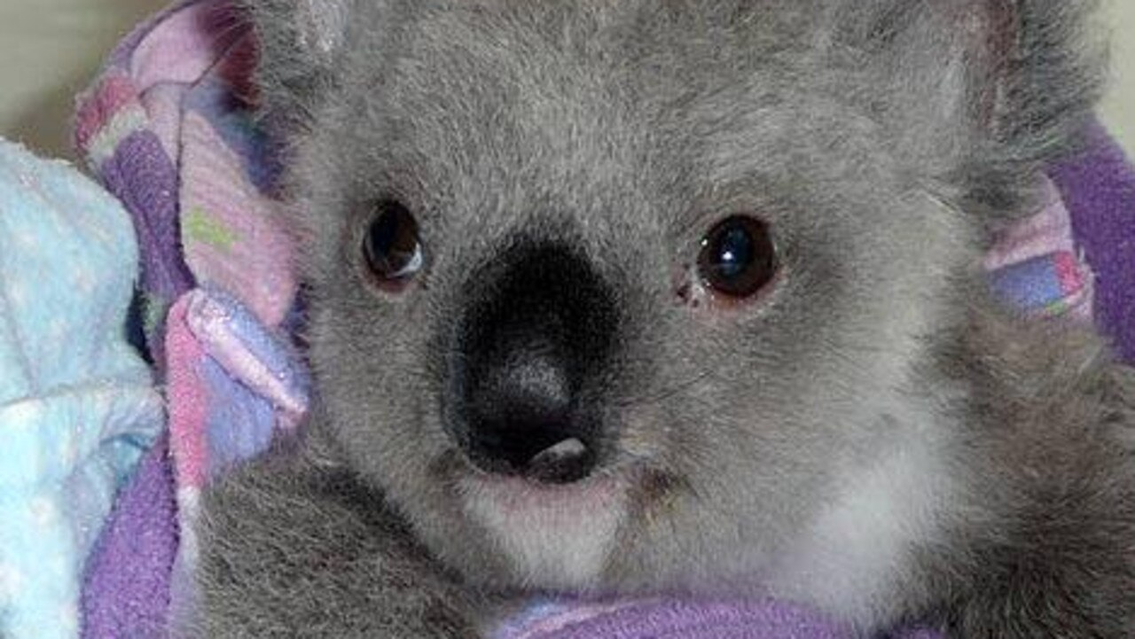 This orphaned koala was saved from the Gold Coast hinterland bushfires. Photo: Supplied/The Rescue Collective