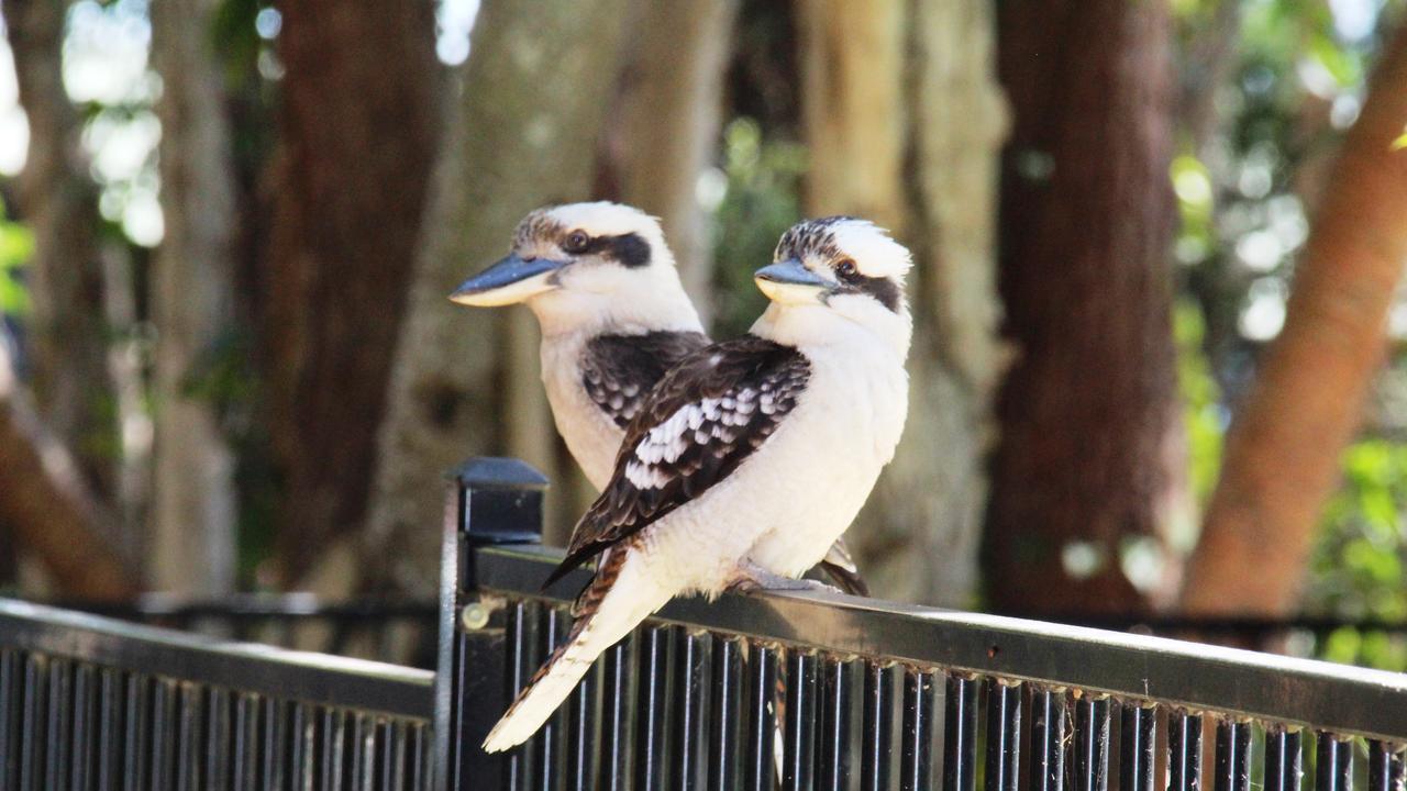 Kookaburras at The Sand Bar. Fraser Island. Picture: Shirley Sinclair