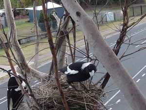 Photographer captures life inside magpie nest