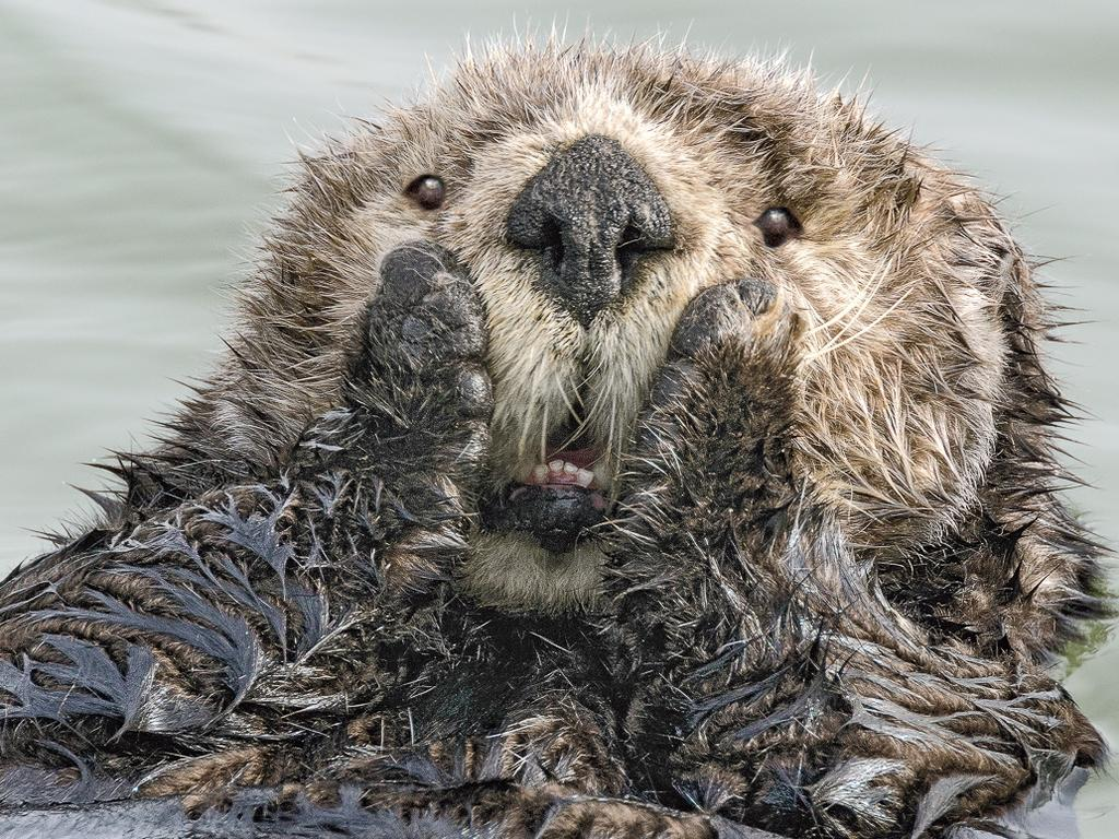 A shocked sea otter in Alaska. Picture: Harry Walker/Comedy Wildlife Photo Awards 2019