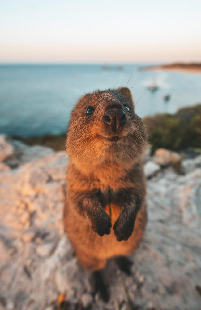 An inquisitive wild quokka says welcome to Rottnest Island. Picture: James Vodicka/Comedy Wildlife Photo Awards 2019