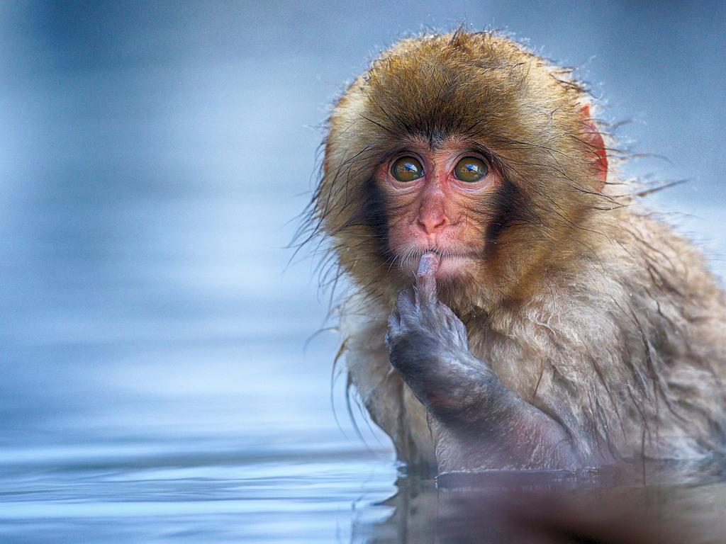 A quizzical snow monkey takes a bath in thermal hot water in Japan. Picture: Txema Garcia Laseca/Comedy Wildlife Photo Awards 2019