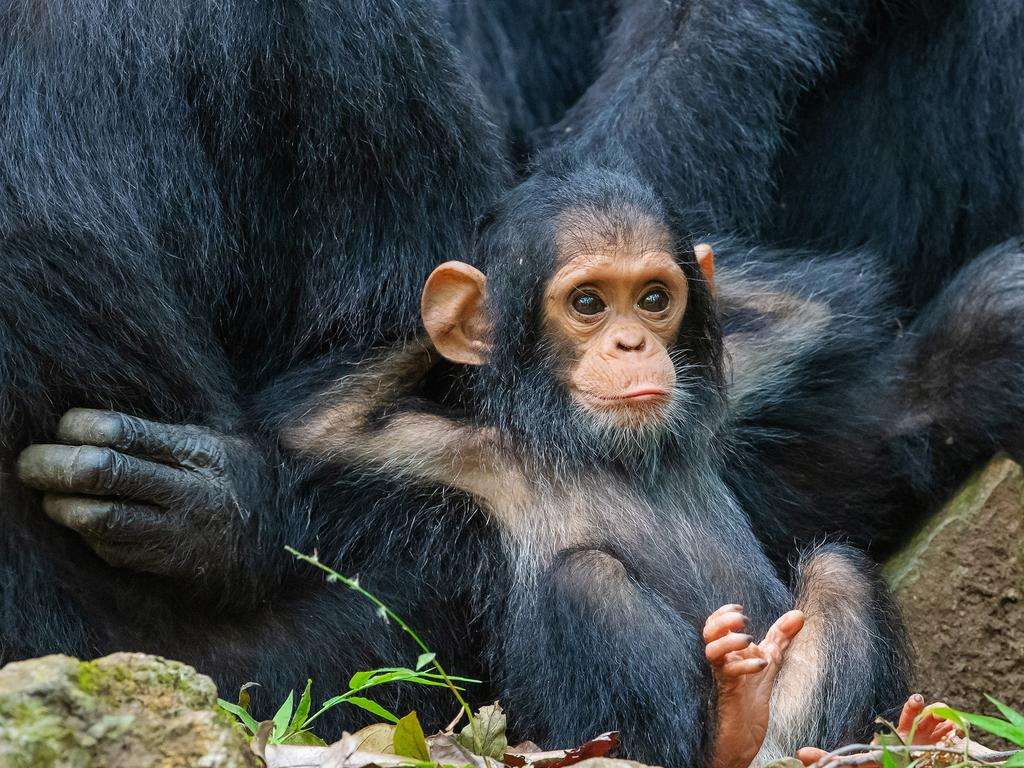 A laidback baby chimp in Tanzania. Picture: Thomas Mangelsen/Comedy Wildlife Photo Awards 2019