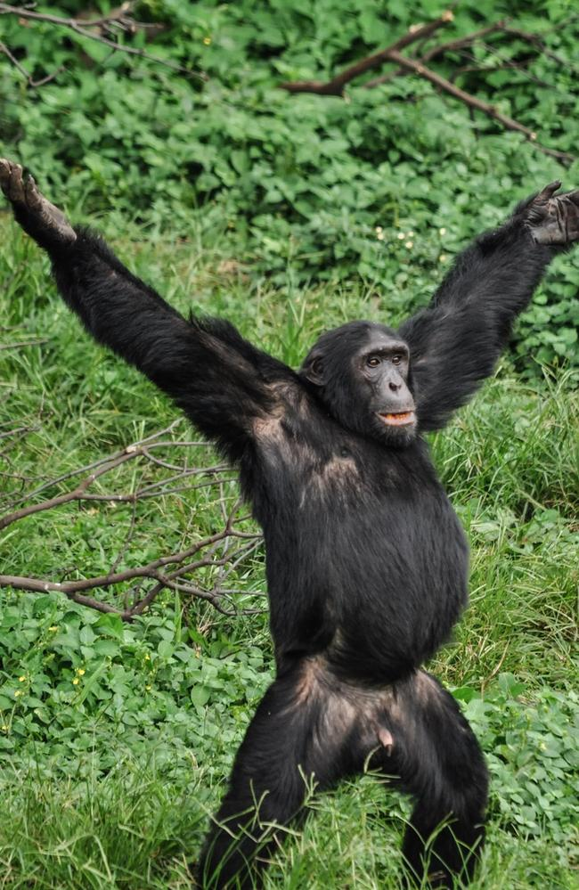Born free! A chimpanzee during feeding time at the Ngamba Island Chimpanzee Sancuary, Uganda. Picture: Ryan Jefferds/Comedy Wildlife Photo Awards 2019