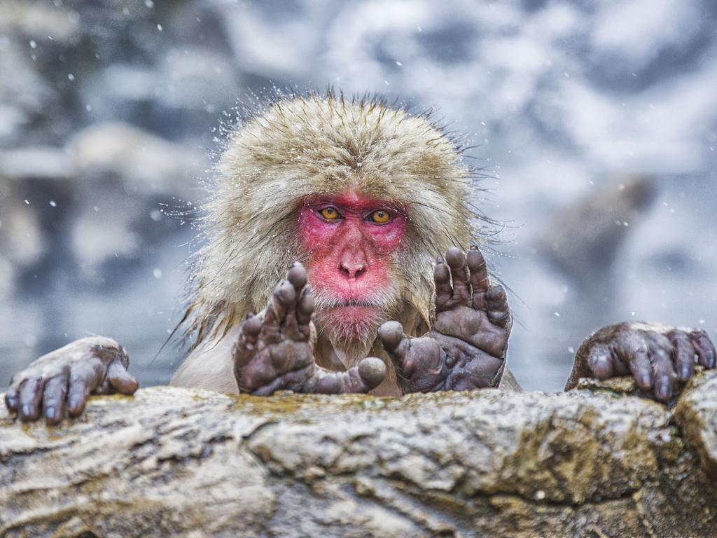 A Japanese Macaque is not pleased to be photographed. Picture: Pablo Daniel Fernandez/Comedy Wildlife Photo Awards 2019