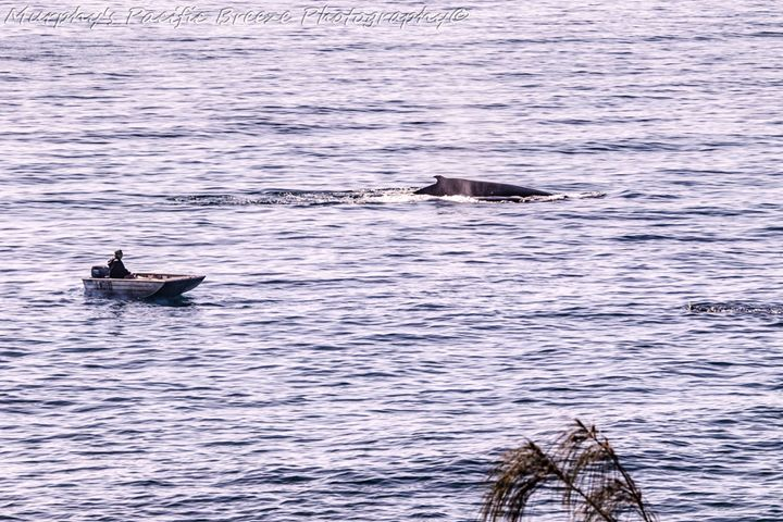 Whales at play at Elliott Heads in this photo by Mark Murphy.