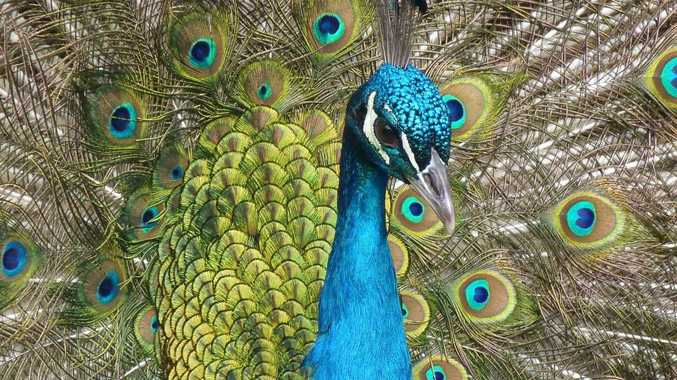 Pistol used to shoot peacocks puts local man in the dock