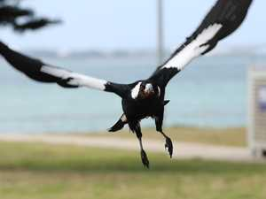 Man dies avoiding 'determined' magpie