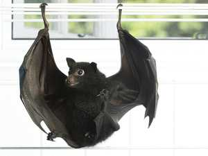 Why you should not go near bushfire bats