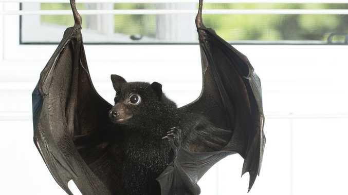 Why you should not go near bushfire bats
