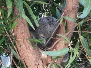 Koala Inquiry happening in Ballina