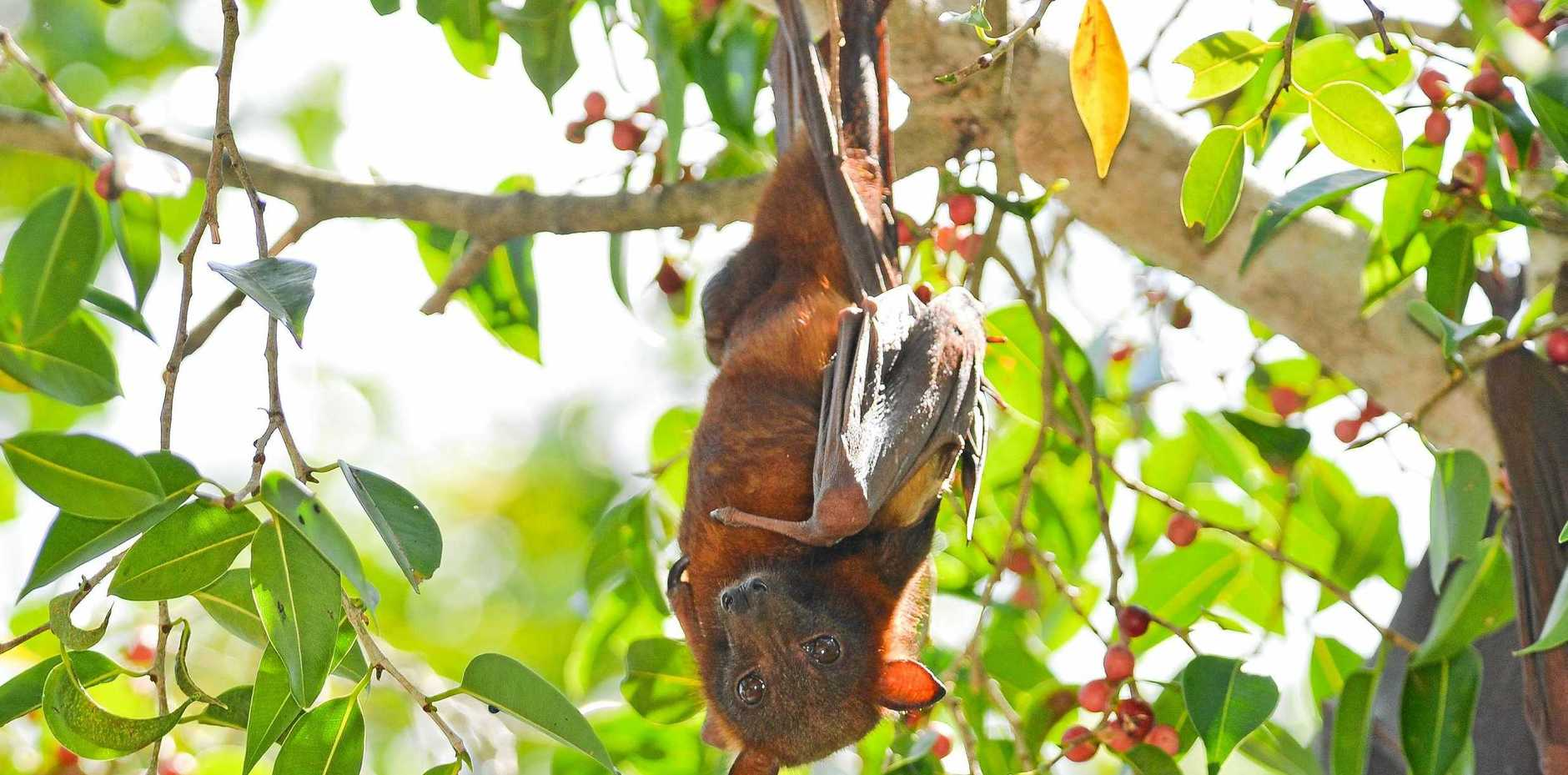 DON'T TOUCH: North Coast residents are reminded to avoid handling or touching injured or dead flying foxes or microbats.