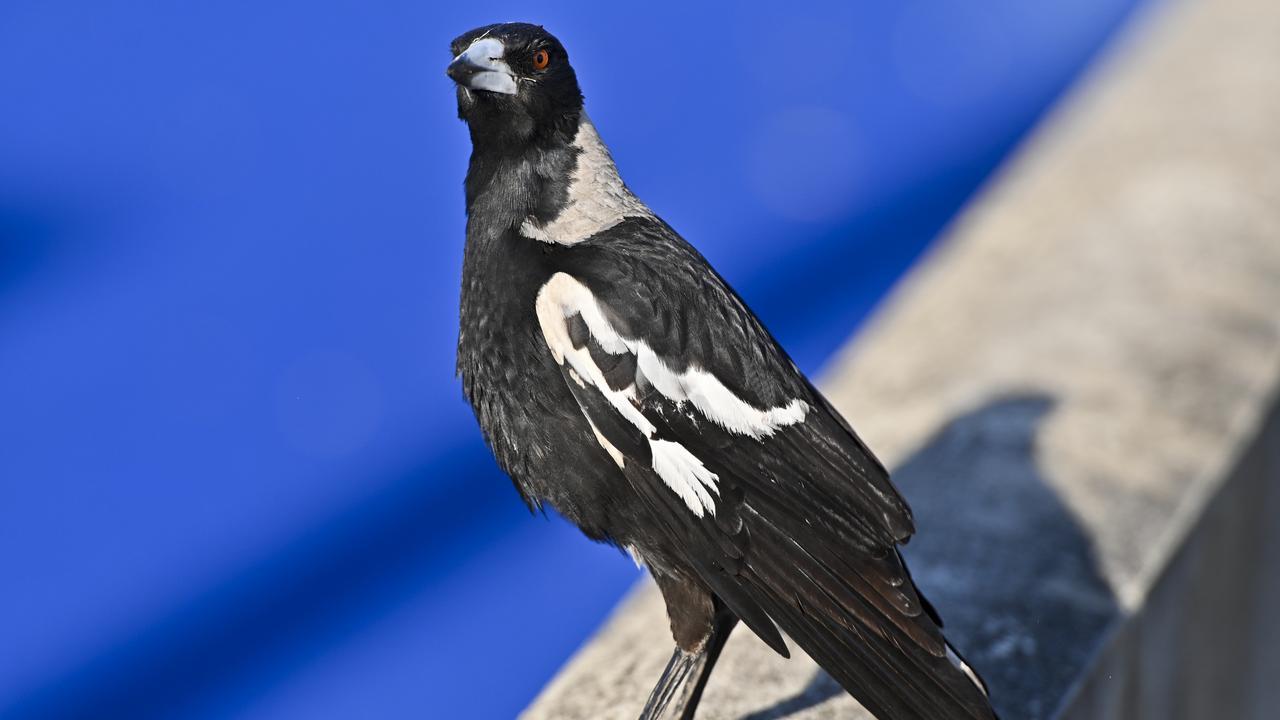 SWOOP ALERT: It's magpie season in Gladstone.