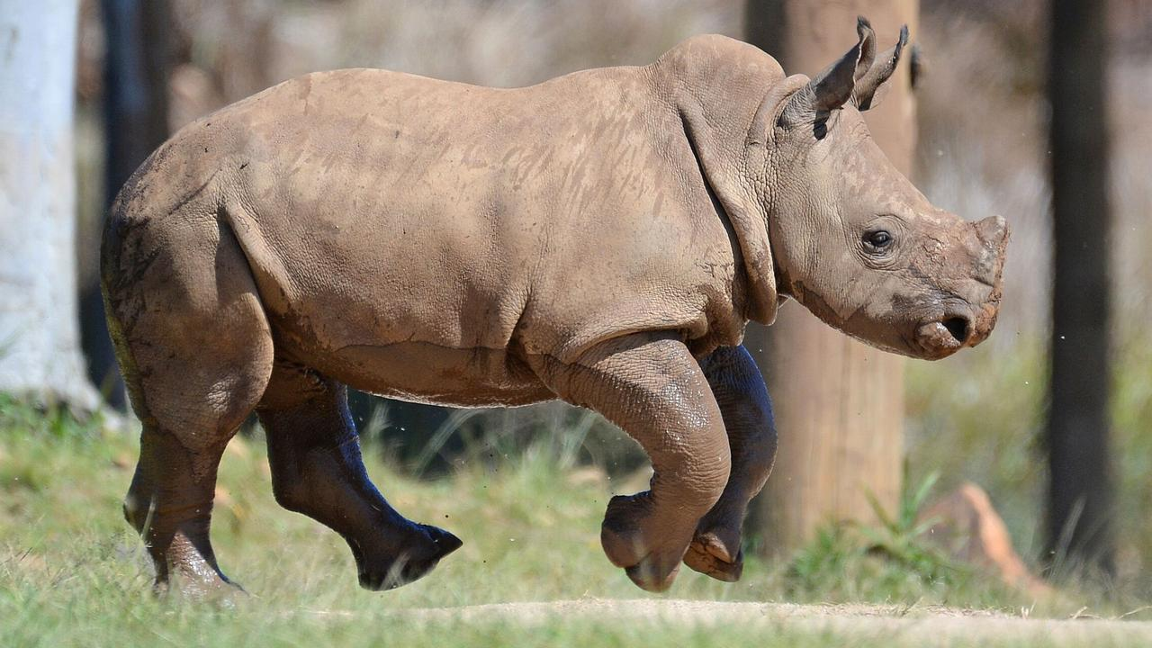 CONFIDENT KINGSTON: Australia Zoo's new baby Rhino finds his feet.