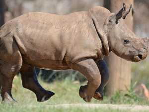 'Brave' baby rhino's role in helping his cousins