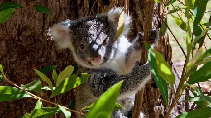'Horrific' injuries claim life of healthy mother koala
