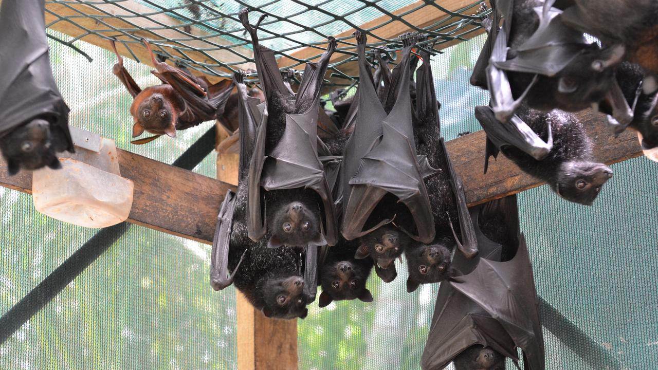 DROUGHT TOLL: Bats are struggling to find fruit due to the drought.
