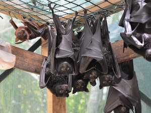 Why bats are dropping dead out of the sky