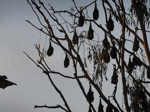 Health department issues warning over flying foxes