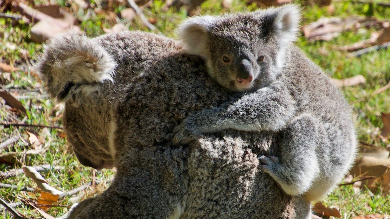 HORRIFIC: Meredith protecting her joey Mervyn after she was attacked by a dog, which left the mother koala with injuries so 'horrific' she later died. Photo: Contributed