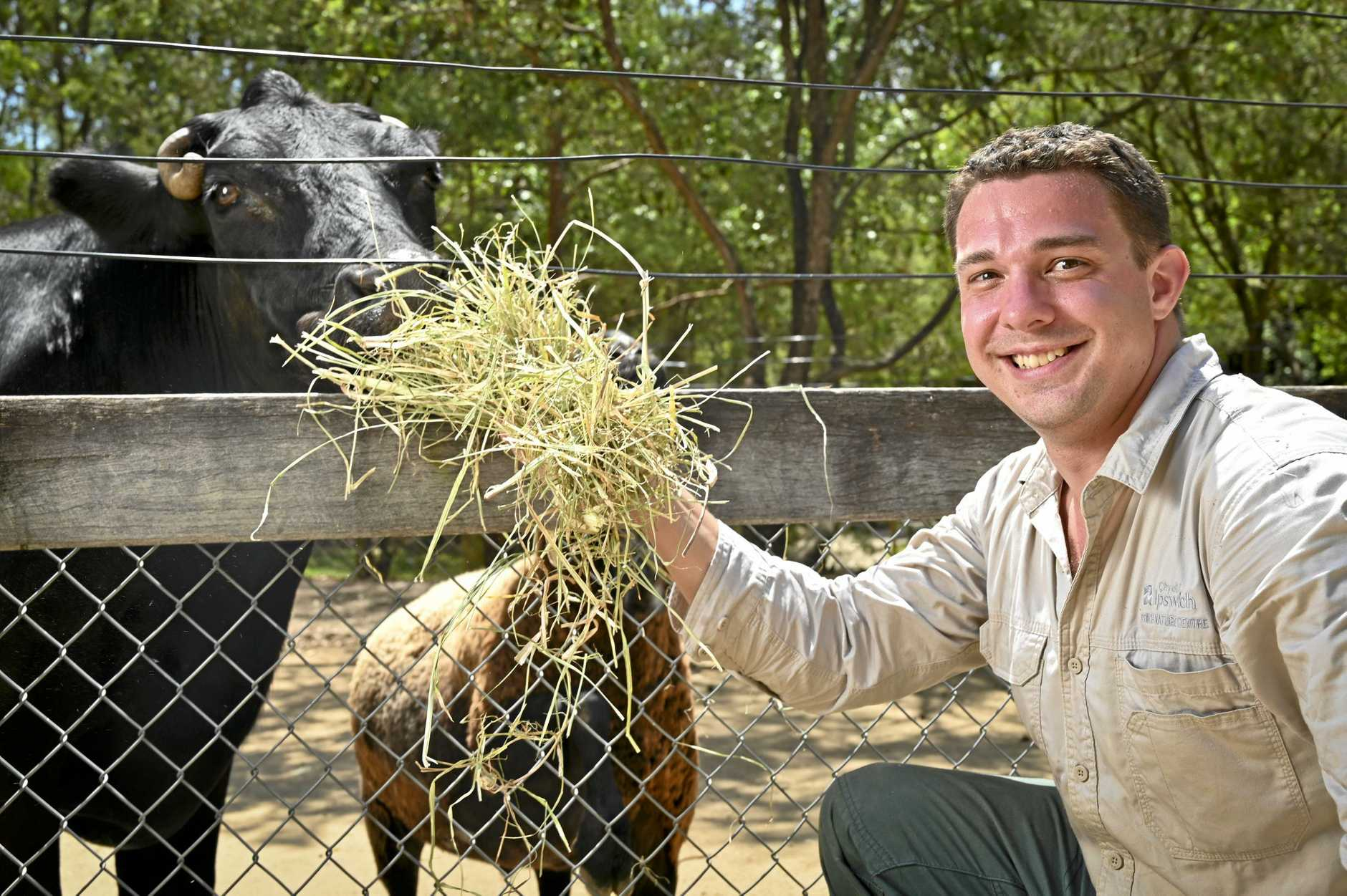 Keeper Nick Szepes feeding Dexter the Steer at the Ipswich Nature Centre, where new VIP guided walking tours are starting.