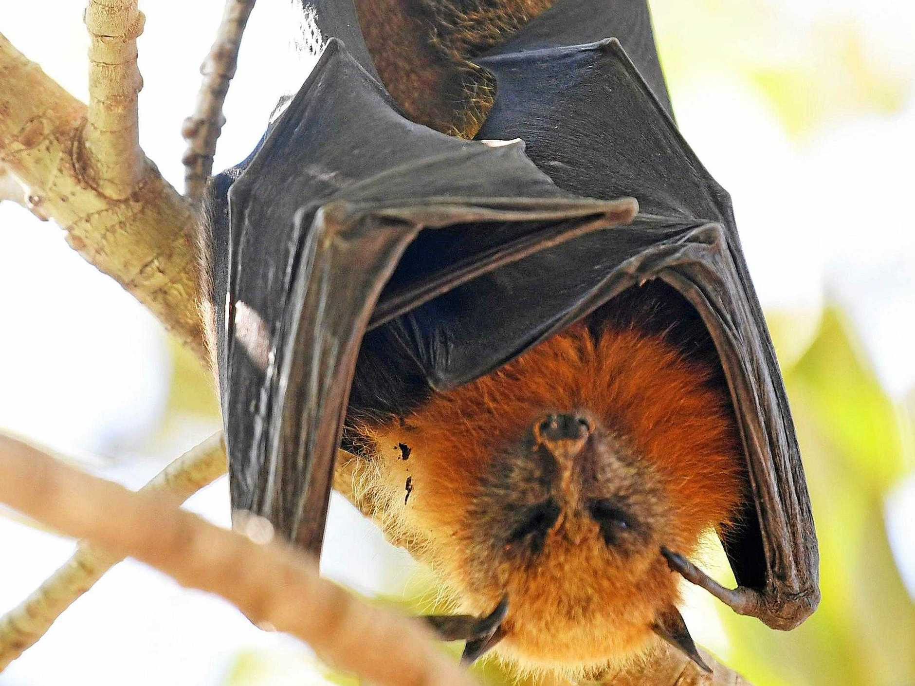 WARNING: The warning from Queensland Health to anyone who sees flying foxes in distress or dead on the ground is don't touch them.