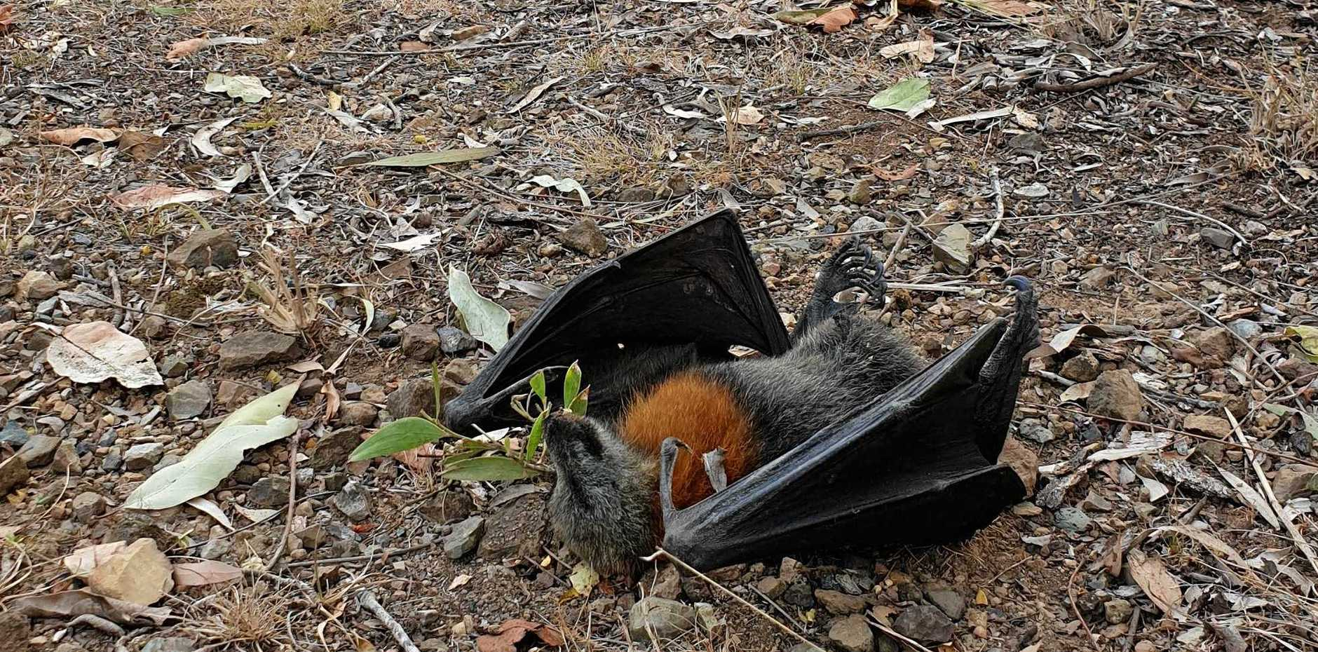 A dead flying fox found at a property at The Dawn on Thursday.