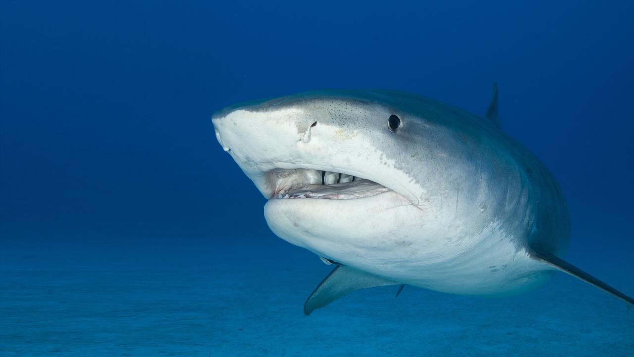 A big Tiger Shark.