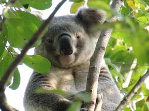First koala spotted in suburban park for 21 years