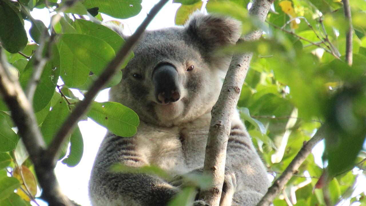 The koala spotted in Pegg's Park, Moorooka, the first one to be seen in the area in 21 years. Picture: Brad Lambert