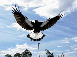 The secret art of keeping swooping magpies away