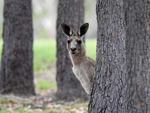 Motorbike rider hospitalised after collision with kangaroo