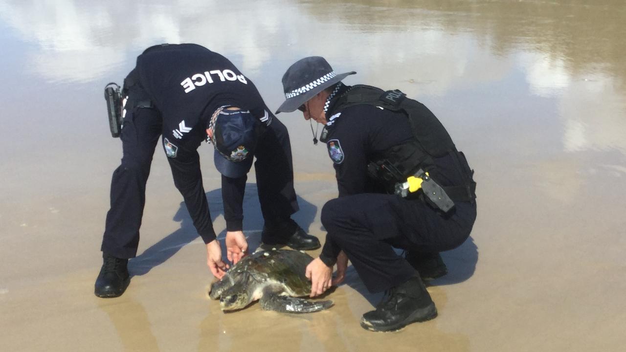 HEROES: Police rescue a standard turtle along Teewah Beach.