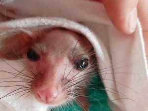 How baby possum managed to survive savage bushfire