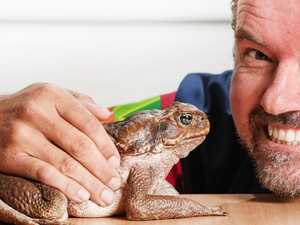 Monster cane toad is a record breaker