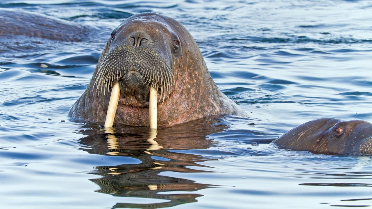 A walrus in Svalbard. Picture: Michael S. Nolan /Lindblad Expeditions & National Geographic