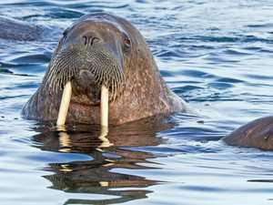 Aggressive walrus sinks Russian Navy boat