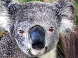 Desperate calls for Koala Hospital