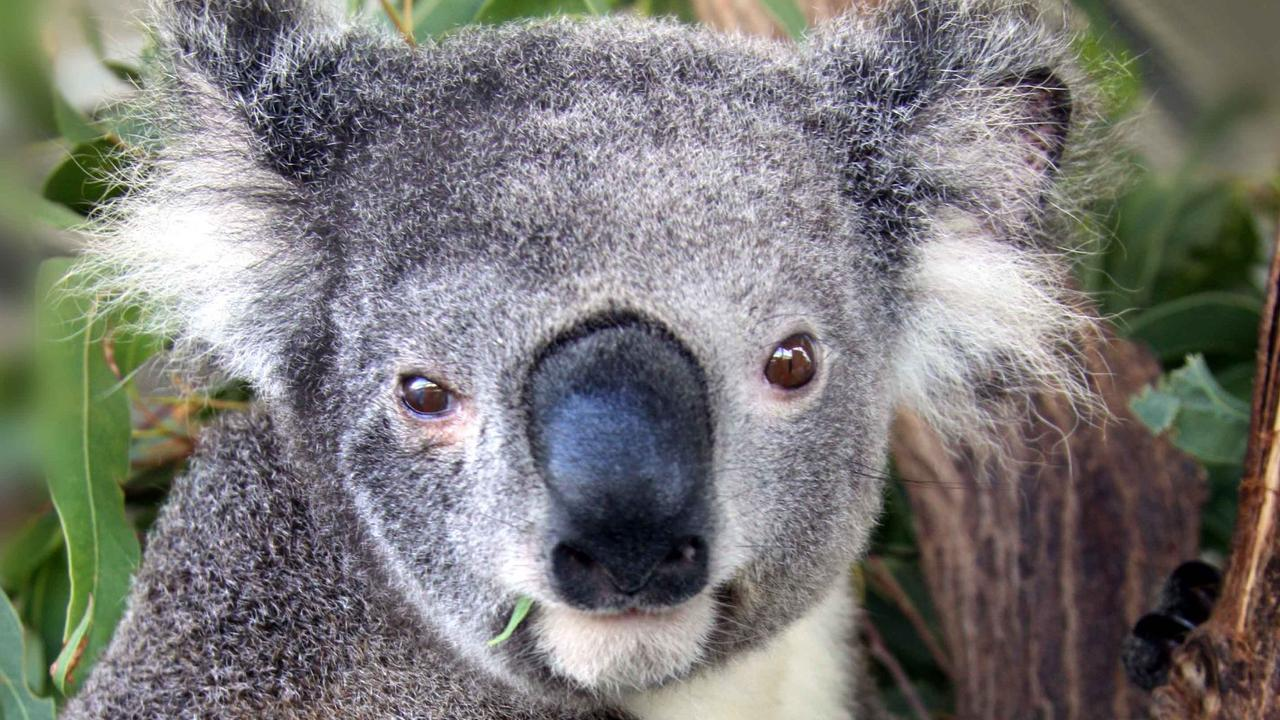 A koala rescuer is calling for a specialised care unit to be established in Redlands to save the future of the species in the area.