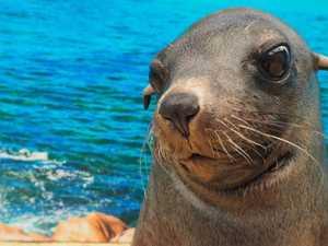 Heartbreak over death of beloved Coast seal