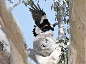 Amazing photo captures magpie attack on koala