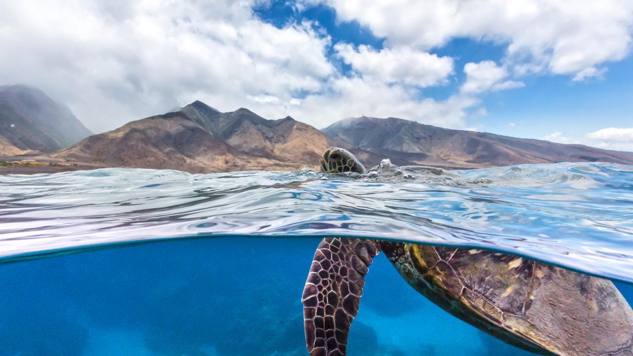 Green Sea Turtle surfacing at Olowalu, Maui