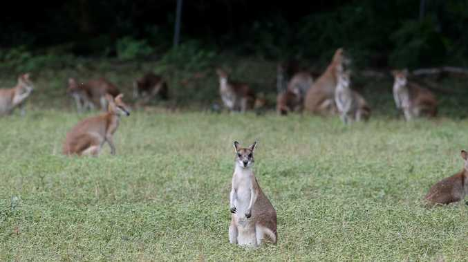 Attack dogs put down but wallabies still at risk